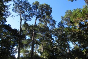Mature trees to be cut down for apartments